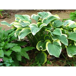 Hosta Cliffords Forest Fire