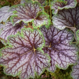 Heuchera x. Beauty Color Żurawka