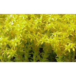 Sedum acre aurescens