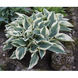Hosta Great Escape Funkia