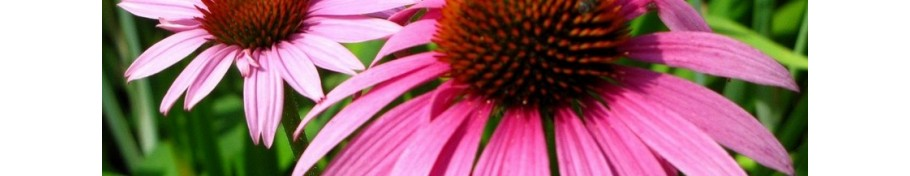 Echinacea jeżówka