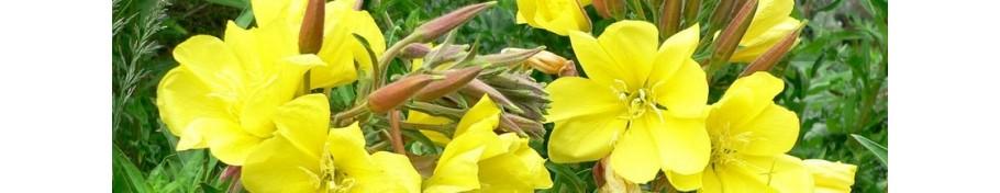 Oenothera wiesiołek