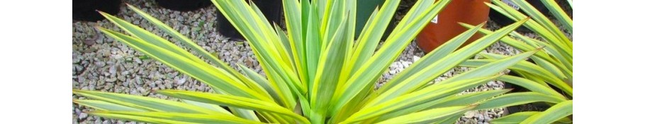 Yucca jukka
