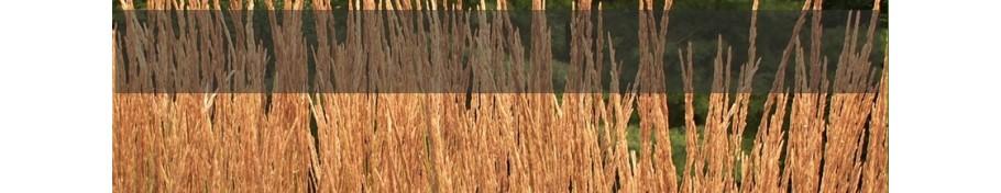 Calamagrostis Trzcinnik
