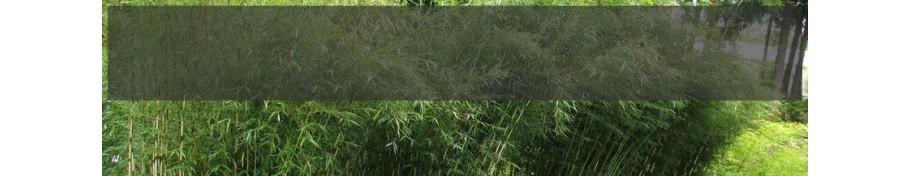 Fargesia Bambus