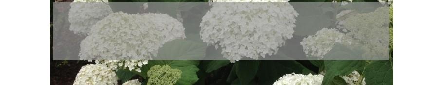 Hydrangea arborescens Hortensja krzewiasta