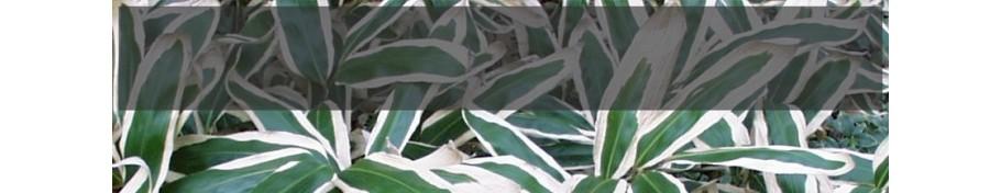Sasa Bambus