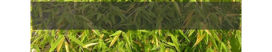 Sinarundinauria bambus