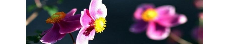 Anemone zawilec