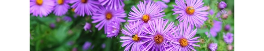 Aster aster