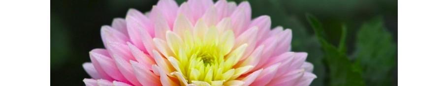 Chrysanthemum złocień