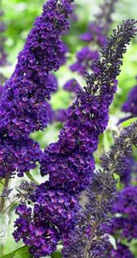 Ogródek purpurowy
