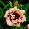 Hemerocallis Roswitha Liliowiec