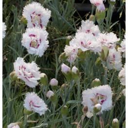 Dianthus plumarius Ine Goździk postrzępiony