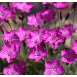 Dianthus caesius Amarant Goździk siny