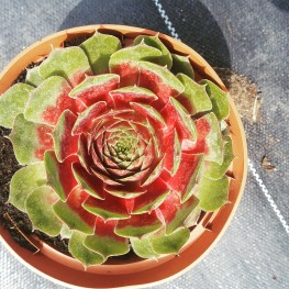 Sempervivum Rhubarb Splash rojnik