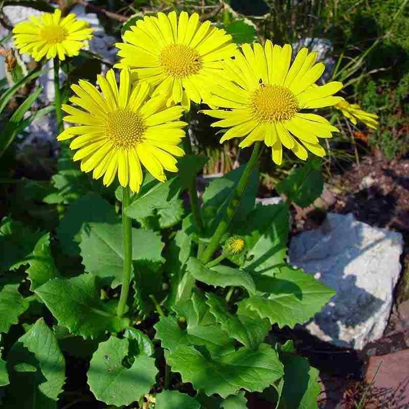 Doronicum orientale Omieg wschodni- Rośliny od Ogrodnika