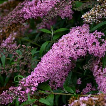 Buddleja Pink Cascade Budleja