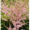 Astilbe simplicofolia Sprite Tawułka pojedynczolistna