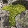 Azorella trifurcata Azorella trójwidlasta