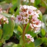 Bergenia cordifolia Schneekonigin Bergenia sercolistna