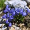 Campanula Cochleariifolia Dzwonek drobny