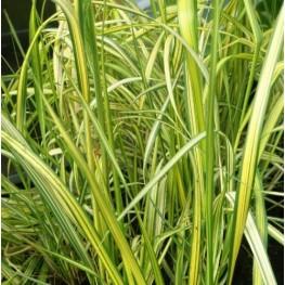 Calamagrostis England