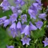 Campanula rotundifolia Dzwonek okrągłolistny