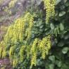Chiastophyllum oppositifolium Chiastopfil naprzeciwlistny