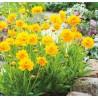 Coreopsis grandiflora Sunray Nachyłek wielkokwiatowy