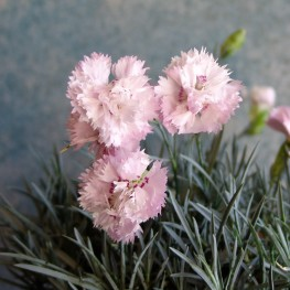 """Dianthus """"Pikes Pink""""- Goździk postrzępiony"""