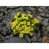 Draba brunifolia Głodek kaukaski