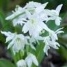 Epimedium youngianum Niveum Epimedium