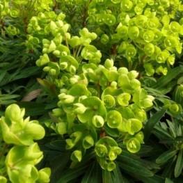 Euphorbia characias Red Wing Wilczomlecz