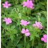 Geranium endressii Wargrave Bodziszek endressa