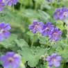 Geranium renardii Philippe Vapelle Bodziszek renarda