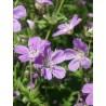 Geranium sylvaticum Birch Lilac Bodziszek leśny