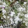 Gypsophila paniculata Łyszczec wiechowaty