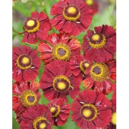 Helenium autumnale Helena Red Shades Dzielżan jesienny