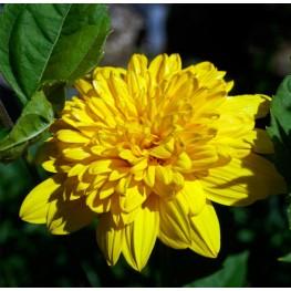 Helianthus Sunshine Daydream Słonecznik