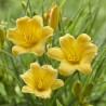 """Hemerocallis Stella d""""Oro"""