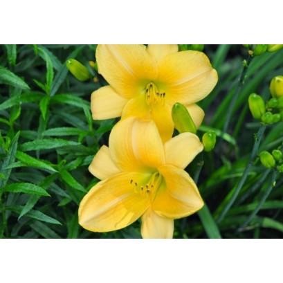Hemerocallis Parian China Liliowiec