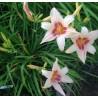 Hemerocallis Prairie Charmer Liliowiec