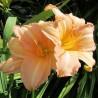 hemerocallis Ruffled Apricot Liliowiec