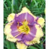 Hemerocallis Bluberry Cream Liliowiec