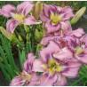 Hemerocallis Mildred Mitchell liliowiec