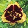 Hemerocallis Tiger Blood