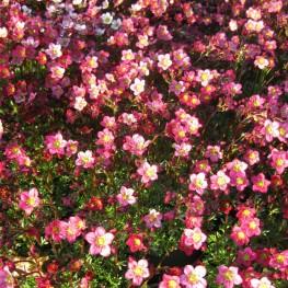 Saxifraga arendsii Carpet Purple Robe