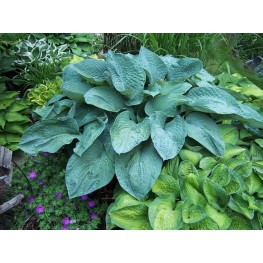 Hosta Bressingham Blue Funkia