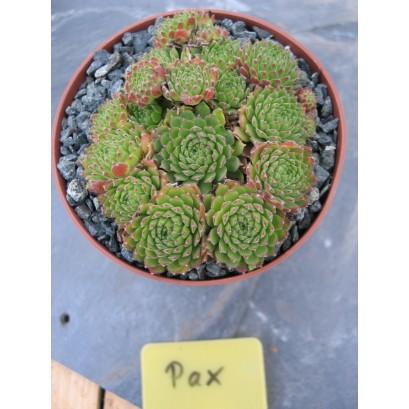 Sempervivum Pax Rojnik